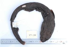 ( - BPS-0186)  @12 [ ] Copyright (2013) Samuel P. Iglesias Museum national d'Histoire naturelle