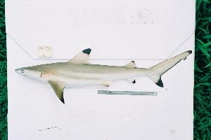 (Carcharhinus melanopterus - BPS-0199)  @14 [ ] Copyright (2002) Samuel P. Iglesias Museum national d'Histoire naturelle