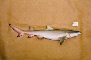( - BPS-0201)  @13 [ ] Copyright (2002) Samuel P. Iglesias Museum national d'Histoire naturelle