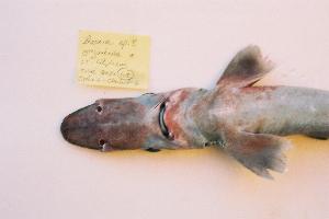 (Centrophoridae - BPS-0443)  @13 [ ] Copyright (2002) Samuel P. Iglesias Museum national d'Histoire naturelle