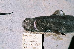 (Etmopterus dianthus - BPS-0448)  @13 [ ] Copyright (2002) Samuel P. Iglesias Museum national d'Histoire naturelle