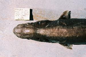 (Etmopterus bigelowi - BPS-0452)  @13 [ ] Copyright (2002) Samuel P. Iglesias Museum national d'Histoire naturelle