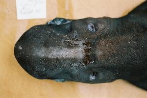 (Centroscymnus owstonii - BPS-0456)  @13 [ ] Copyright (2002) Samuel P. Iglesias Museum national d'Histoire naturelle