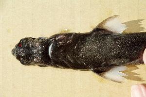 (Etmopterus dislineatus - BPS-0505)  @13 [ ] Copyright (2002) Samuel P. Iglesias Museum national d'Histoire naturelle