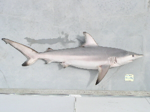 (Carcharhinus limbatus - BPS-0550)  @13 [ ] Copyright (2007) Samuel P. Iglesias Museum national d'Histoire naturelle