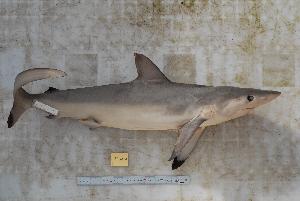 (Elasmobranchii - BPS-0551)  @15 [ ] Copyright (2013) Samuel P. Iglesias Museum national d'Histoire naturelle