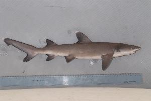 (Triaenodon - BPS-0649)  @14 [ ] Copyright (2007) Samuel P. Iglesias Museum national d'Histoire naturelle