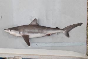 (Carcharhinus albimarginatus - BPS-0650)  @13 [ ] Copyright (2007) Samuel P. Iglesias Museum national d'Histoire naturelle
