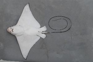 (Myliobatidae - BPS-0656)  @14 [ ] Copyright (2007) Samuel P. Iglesias Museum national d'Histoire naturelle