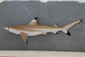 (Carcharhinus melanopterus - BPS-0657)  @14 [ ] Copyright (2007) Samuel P. Iglesias Museum national d'Histoire naturelle