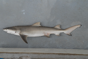 (Negaprion - BPS-0659)  @13 [ ] Copyright (2007) Samuel P. Iglesias Museum national d'Histoire naturelle