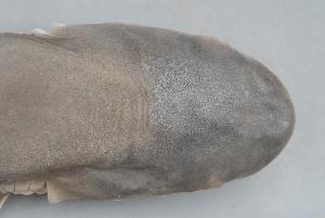 ( - BPS-0659)  @12 [ ] Copyright (2007) Samuel P. Iglesias Museum national d'Histoire naturelle