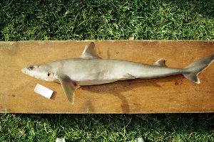 (Squalus albifrons - BPS-0765)  @13 [ ] Copyright (2002) Samuel P. Iglesias Museum national d'Histoire naturelle
