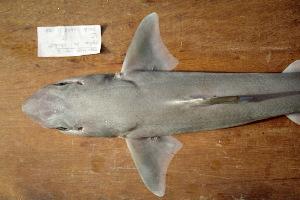 (Squalus chloroculus - BPS-0766)  @13 [ ] Copyright (2002) Samuel P. Iglesias Museum national d'Histoire naturelle