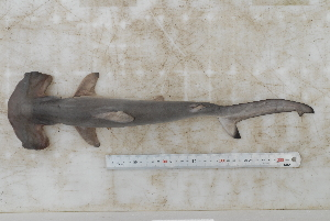 ( - BPS-2293)  @13 [ ] Copyright (2012) Samuel P. Iglesias Museum national d'Histoire naturelle