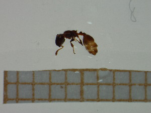 (Temnothorax angustulus - BC-MTP-00042)  @12 [ ] CreativeCommons - Attribution Non-Commercial Share-Alike (2016) T. Decaëns University of Montpellier