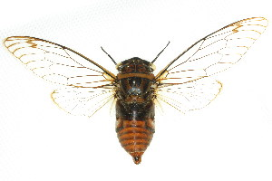 (Cicadidae - 11ANIC-17074)  @17 [ ] CreativeCommons - Attribution Non-Commercial Share-Alike (2011) ANIC/BIO Photography Group ANIC/Biodiversity Institute of Ontario