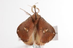 ( - ANIC Gen No. 000605)  @13 [ ] Copyright (2010) Australia National Insect Collection Australia National Insect Collection