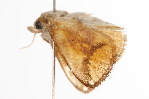 ( - ANIC Gen No. 000606)  @13 [ ] Copyright (2010) Australia National Insect Collection Australia National Insect Collection