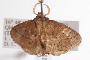 ( - ANIC Gen No. 000722)  @13 [ ] Copyright (2010) Australia National Insect Collection Australia National Insect Collection