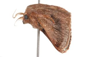 ( - ANIC Gen No. 001041)  @13 [ ] Copyright (2010) Australia National Insect Collection Australia National Insect Collection
