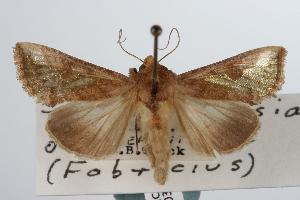 ( - ANIC Gen No. 000345)  @13 [ ] Copyright (2010) Unspecified Australia National Insect Collection
