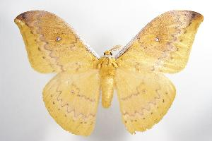 ( - ANIC Gen No. 000424)  @14 [ ] Copyright (2010) Australia National Insect Collection Australia National Insect Collection
