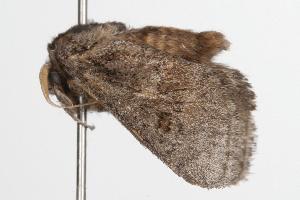 ( - ANIC Gen No. 001307)  @13 [ ] Copyright (2010) Australia National Insect Collection Australia National Insect Collection