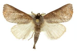 (Clostera rubida - 10ANIC-00195)  @14 [ ] CreativeCommons - Attribution Non-Commercial Share-Alike (2010) CSIRO/BIO Photography Group Biodiversity Institute of Ontario