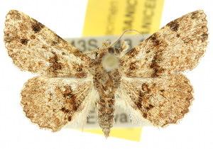 (Hypeninae - 10ANIC-01876)  @15 [ ] CreativeCommons - Attribution Non-Commercial Share-Alike (2010) BIO Photography Group BIO/CSIRO