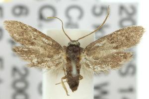 (Cyclotornidae - 10ANIC-02254)  @14 [ ] CreativeCommons - Attribution Non-Commercial Share-Alike (2010) BIO Photography Group BIO/CSIRO