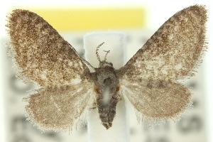 (Epipyropidae - 10ANIC-02261)  @14 [ ] CreativeCommons - Attribution Non-Commercial Share-Alike (2010) BIO Photography Group BIO/CSIRO