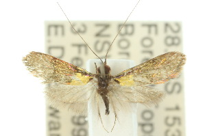 (Nemophora sp. ANIC2 - 10ANIC-02714)  @14 [ ] CreativeCommons - Attribution Non-Commercial Share-Alike (2010) BIO Photography Group BIO/CSIRO