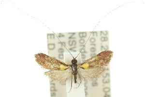 (Nemophora sp. ANIC1 - 10ANIC-02715)  @14 [ ] CreativeCommons - Attribution Non-Commercial Share-Alike (2010) BIO Photography Group BIO/CSIRO