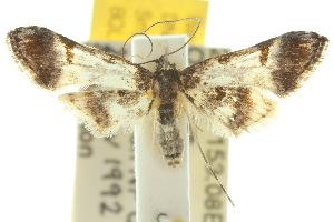 (Tineodidae - 10ANIC-03072)  @14 [ ] CreativeCommons - Attribution Non-Commercial Share-Alike (2010) BIO Photography Group BIO/CSIRO