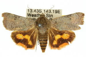(Hyblaeidae - 10ANIC-04129)  @15 [ ] CreativeCommons - Attribution Non-Commercial Share-Alike (2010) CSIRO/BIO Photography Group Biodiversity Institute of Ontario