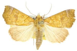 (Scoliopteryginae - 10ANIC-05632)  @16 [ ] CreativeCommons - Attribution Non-Commercial Share-Alike (2010) BIO Photography Group BIO/CSIRO