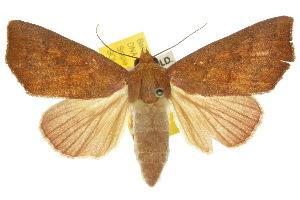(Scoliopteryginae - 10ANIC-05650)  @16 [ ] CreativeCommons - Attribution Non-Commercial Share-Alike (2010) BIO Photography Group BIO/CSIRO