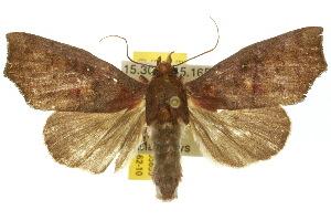 (Scoliopteryginae - 10ANIC-05659)  @16 [ ] CreativeCommons - Attribution Non-Commercial Share-Alike (2010) BIO Photography Group BIO/CSIRO