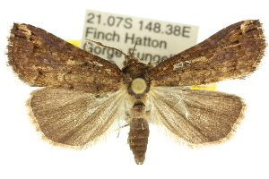 (Eustrotiinae - 10ANIC-05983)  @15 [ ] CreativeCommons - Attribution Non-Commercial Share-Alike (2010) Photography Group BIO/CSIRO