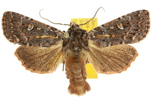 (Noctuinae - 10ANIC-07994)  @16 [ ] CreativeCommons - Attribution Non-Commercial Share-Alike (2010) Photography Group BIO/CSIRO