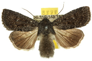 (Noctuidae - 10ANIC-08022)  @16 [ ] CreativeCommons - Attribution Non-Commercial Share-Alike (2010) Photography Group BIO/CSIRO