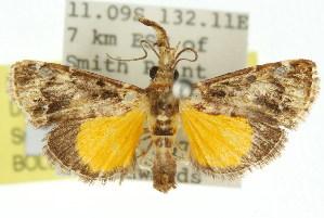 (Epipaschiinae - 11ANIC-01041)  @15 [ ] CreativeCommons - Attribution Non-Commercial Share-Alike (2011) Photography Group BIO/CSIRO