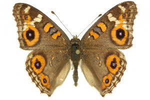 (Junonia villida - 11ANIC-07800)  @16 [ ] by-nc-sa - Creative Commons - Attribution Non-Comm Share-Alike (2011) CSIRO/BIO Photography Group Biodiversity Institute of Ontario