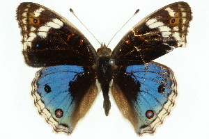 (Junonia orithya - 11ANIC-07804)  @15 [ ] by-nc-sa - Creative Commons - Attribution Non-Comm Share-Alike (2011) CSIRO/BIO Photography Group Biodiversity Institute of Ontario