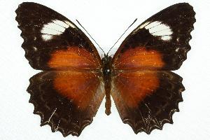 (Cethosia cydippe - 11ANIC-07811)  @14 [ ] CreativeCommons - Attribution Non-Commercial Share-Alike (2011) ANIC/BIO Photography Group BIO/CSIRO