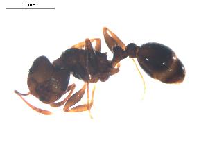 (Tetramorium moravicum - CCDB-08858-A12)  @12 [ ] Copyright  G. Blagoev 2010 Unspecified