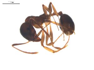 (Aphaenogaster subterranea - CCDB-08858-D06)  @14 [ ] Copyright  G. Blagoev 2010 Unspecified