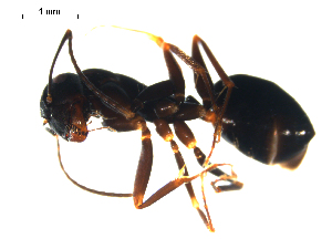(Camponotus aethiops - CCDB-10376-F02)  @14 [ ] Copyright  G. Blagoev 2010 Unspecified