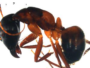 (Camponotus samius - CCDB-10376-F12)  @14 [ ] Copyright  G. Blagoev 2010 Unspecified